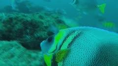 Cortez angelfish (Pomacanthus zonipectus) swims over reef in Baja California