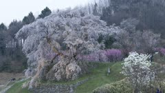 Tourists Visit Huge Tree, Possibly Wisteria, In Park