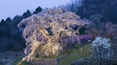 Tourists Visit Huge Tree, Possibly Wisteria, In Park As Sun Sets
