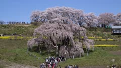 Tourists Visit Huge Wisteria, In Park