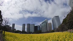 Fisheye View, People Walk Near Mustard Or Rapeseed Fields With Skyscrapers Behind