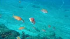 Colorful Anthias, Possibly Red-Belted, Swimming Underwater