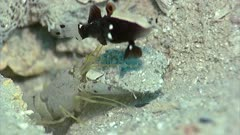 Red-Spotted Snapping Shrimp Moves Sand From Burrow While Whitecap Goby And Dance Goby Guards
