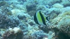 Moorish Idol Swims Around Reef