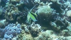 Pair Of Moorish Idols Swims Around Reef