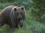 Grizzly Bear Walking And Foraging Through The Scrub