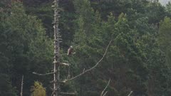 Osprey resting on dead branches of a tree