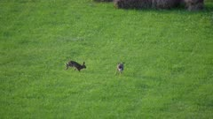 Brown Hare Mating chase sequence