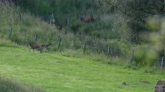 Problems with jumping over farm fences for Red deer in Scotland.