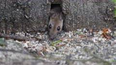 Cautious mouse feeding on dropped food.