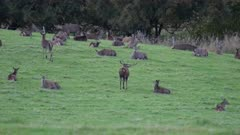 Red Deer stag during rut amongst hinds