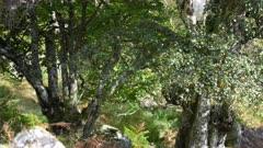 Wild Goat feeding up a tree