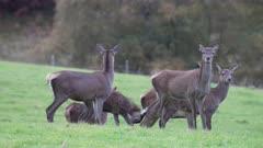 Vigilant Red Deer hinds