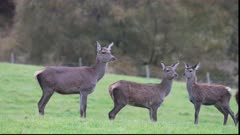 Vigiland Red deer Hinds