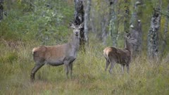 A concerned Red deer Hind and calf