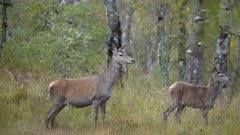 Barking Red Deer Hind