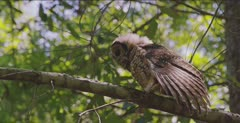 Spotted Owl, (Strix occidentalis),