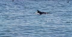 Risso's Dolphin, (Grampus griseus)