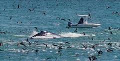 Humpback Whale (Megaptera novaeangliae)
