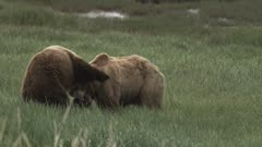Two Male Brown Bear (Ursus Arctos) Skuffle In A Thick Green Meadow.