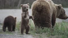 A Female Grizzly Bear And Her Two Spring Cubs Feed Along The River. A Cub Stands On Two Legs