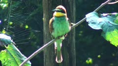 European Bee Eater ( Meriops Apiaster ) on the Branch