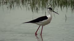Black-winged stilt: foraging in shallow pool