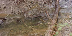 Steelhead Trout Spawn in creek under tree branches