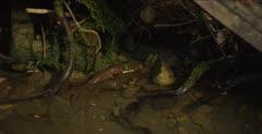 California giant salamander walks in creek