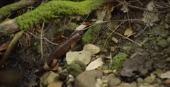California giant salamander walks up creek habitat