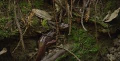 California giant salamander hiding in creek habitat