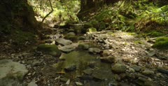 Redwood forest, creek habitat for salamander, pan upward