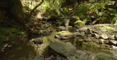 Redwood forest, creek habitat for salamanders