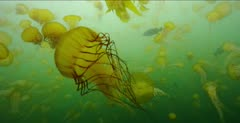 Jellyfish, Pacific Sea Nettle Jellyfish in kelp forest, lens swims backwards