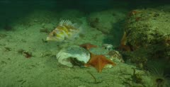 Bat star feeds on dead mola mola, see copper rockfish