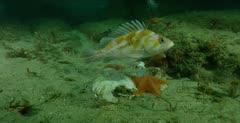 Bat star feeds on dead mola mola, see copper rockfish
