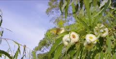 Monarch butterflies feeding on blooms of eucalyptus