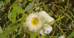 Monarch Butterfly food, eucalyptus bloom