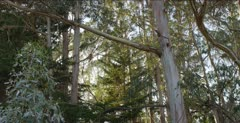 Monarch Butterfly habitat, upper eucalyptus, flying insects