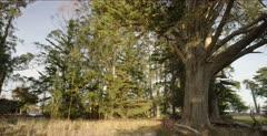 Monarch Butterfly habitat, eucalyptus & cedar grove