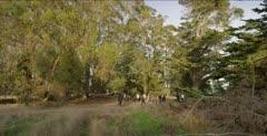 Monarch Butterfly habitat, eucalyptus & cedar grove, people viewing