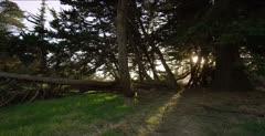Cedar trees with sunlight, no butterflies