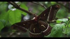 Silk moth, flickers wings, Ceanothus