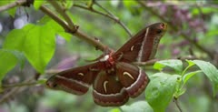 Silk moth, flickers wings, flies away