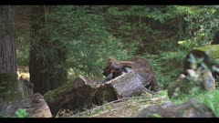 Pileated woodpecker feeding on insects inside log, 48FPS