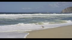 Curlew probes the nearshore ocean along the edge of waves