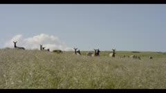 Tule elk in field look towards lens