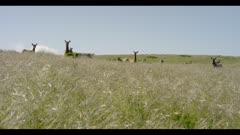 Tule elk look towards lens in grassy field