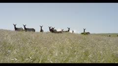 Tule elk look towards lens in grassy field, stretching their necks