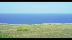 Tule elk lay in grassy field, Pacific ocean background